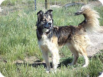 Husky/Australian Shepherd Mix Dog for adoption in Cardwell, Montana - Mr. Wilson