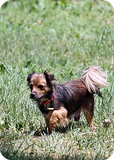 Pomeranian/Sheltie, Shetland Sheepdog Mix Dog for adoption in Westminster, Colorado - Annabelle