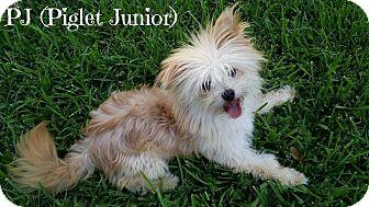 Pomeranian Mix Dog for adoption in Metairie, Louisiana - PJ