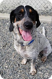 Coonhound Mix Dog for adoption in Bellingham, Washington - Boomer