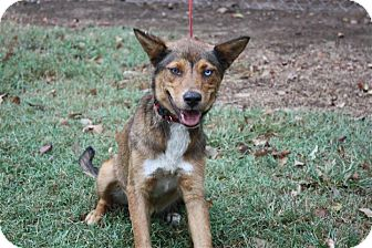 German Shepherd Dog/Siberian Husky Mix Dog for adoption in Conway, Arkansas - Bonnie