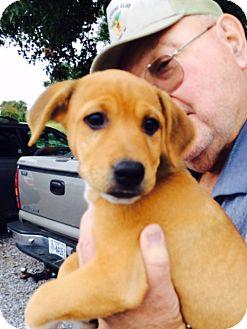 Labrador Retriever/Retriever (Unknown Type) Mix Puppy for adoption in Hatifeld, Pennsylvania - Macie