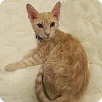 Adopt A Pet :: Bugatti - The Colony, TX