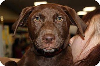 Labrador Retriever/Boxer Mix Dog for adoption in Seattle, Washington - Maddy