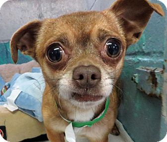Chihuahua Mix Dog for adoption in Middletown, New York - Wilshire
