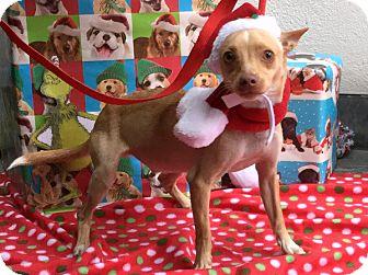 Chihuahua Mix Dog for adoption in Philadelphia, Pennsylvania - Sparky