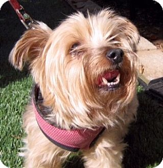 Yorkie, Yorkshire Terrier Dog for adoption in Oakland, California - REUBEN
