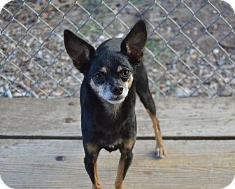 Chihuahua Mix Dog for adoption in Santa Barbara, California - Blacky