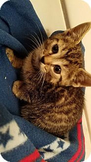 Domestic Shorthair Kitten for adoption in Tampa, Florida - Olivia