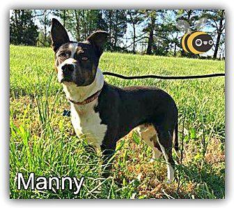 Australian Cattle Dog/Boxer Mix Dog for adoption in Arlington, Virginia - Manny Pants