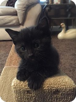 Domestic Shorthair Kitten for adoption in Warren, Ohio - Harley
