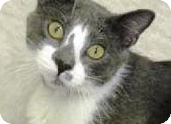 Domestic Shorthair Cat for adoption in Fenton, Missouri - SMUDGE