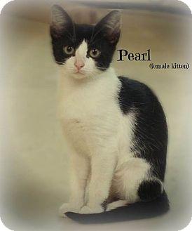 Domestic Shorthair Kitten for adoption in Glen Mills, Pennsylvania - Pearl