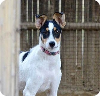 Whippet/Retriever (Unknown Type) Mix Puppy for adoption in WADSWORTH, Illinois - TINY