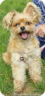 Pomeranian/Yorkie, Yorkshire Terrier Mix Dog for adoption in Worcester, Massachusetts - Sweetpea