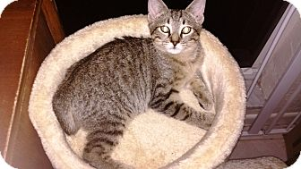 Domestic Shorthair Kitten for adoption in Seminole, Florida - Holly