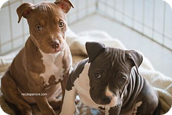 Pit Bull Terrier Mix Puppy for adoption in Las Vegas, Nevada - Louise bonded with Thelma