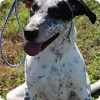Pointer/Spaniel (Unknown Type) Mix Dog for adoption in Von Ormy, Texas - Speckles