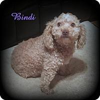 Adopt A Pet :: Bindi - Denver, NC