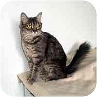 Domestic Mediumhair Cat for adoption in Washougal, Washington - Janesse