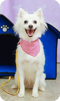 Spitz (Unknown Type, Small) Dog for adoption in San Mateo, California - Mika