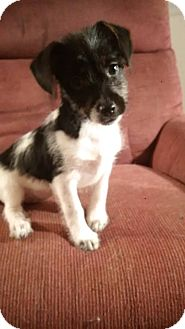 Terrier (Unknown Type, Small)/Chihuahua Mix Puppy for adoption in Washington, D.C. - Piper