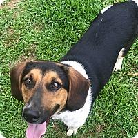 Beagle Mix Dog for adoption in Glastonbury, Connecticut - Simba