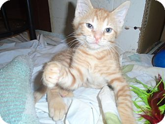 Domestic Shorthair Kitten for adoption in Chicago, Illinois - Sunny Day