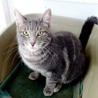 Domestic Shorthair/Domestic Shorthair Mix Cat for adoption in Belleville, Michigan - Bobby