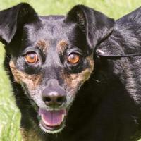 Adopt A Pet :: Jesse - Boulder, CO
