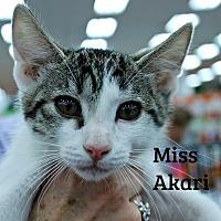 Adopt A Pet :: Miss Akari - Wichita Falls, TX