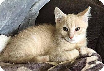 Domestic Shorthair Kitten for adoption in Lexington, Kentucky - Tater