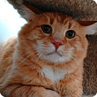 Domestic Shorthair Cat for adoption in Cloquet, Minnesota - Bolt