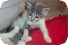 Domestic Shorthair Kitten for adoption in Arlington, Virginia - Darcy & Dominique