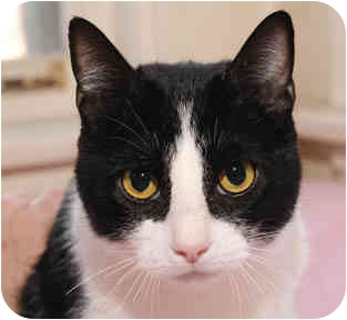 Domestic Shorthair Cat for adoption in Chicago, Illinois - Izzy