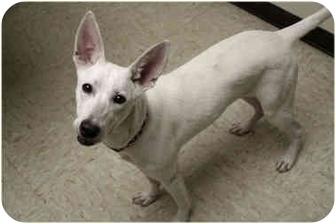 Pharaoh Hound/Terrier (Unknown Type, Medium) Mix Dog for adoption in Racine, Wisconsin - Stella