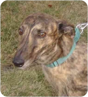 Greyhound Dog for adoption in Fremont, Ohio - Blitzen