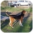 Photo 3 - Foxhound Mix Dog for adoption in Portsmouth, Rhode Island - Sandy