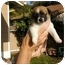 Photo 2 - Terrier (Unknown Type, Small)/Jack Russell Terrier Mix Dog for adoption in Vista, California - Kiwi