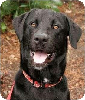 Labrador Retriever Mix Puppy for adoption in Phoenix, Oregon - Rasta