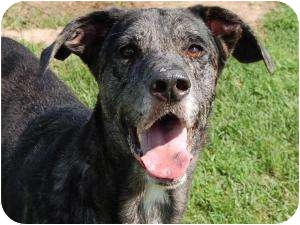 Great Dane Mix Dog for adoption in Barron, Wisconsin - Harley