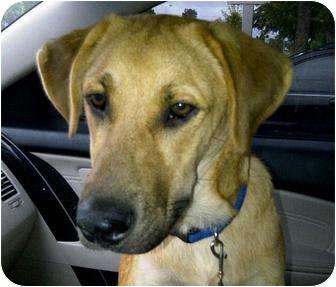 Labrador Retriever/Shepherd (Unknown Type) Mix Puppy for adoption in Largo, Florida - Diesel