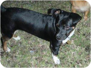Jack Russell Terrier Mix Puppy for adoption in Calgary, Alberta - Corky