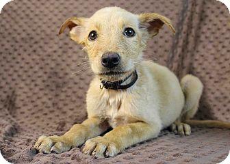 Golden Retriever/Shepherd (Unknown Type) Mix Puppy for adoption in Westminster, Colorado - Fernanda