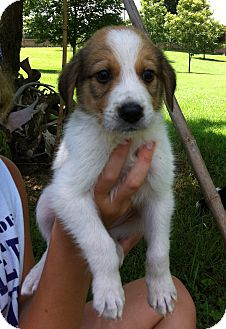 Border Collie/Great Pyrenees Mix Puppy for adoption in Columbia, South Carolina - Lassie