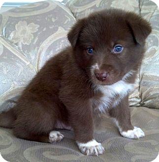 Australian Shepherd/Border Collie Mix Puppy for adoption in ST LOUIS, Missouri - KOSMO