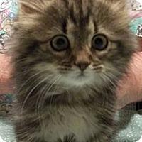 Adopt A Pet :: Vegas - Acme, PA