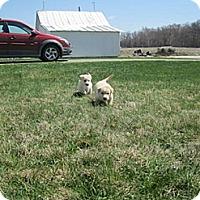 Adopt A Pet :: 6 Puppies - Carey, OH