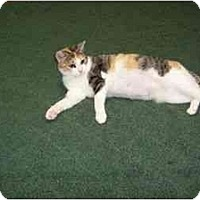 Adopt A Pet :: Calico Mom - Secaucus, NJ