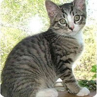 Adopt A Pet :: Monkey Shine - Dallas, TX